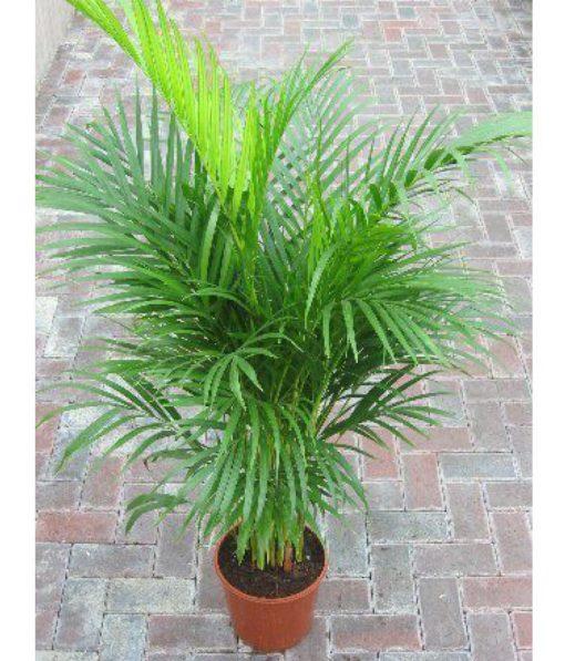 Areca Palm Tree