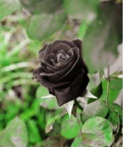 Black Rose Flower