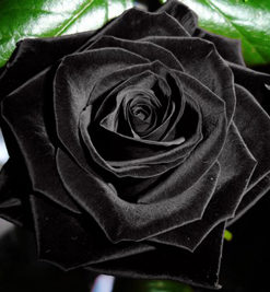 Black-Rose-Flower-Seed