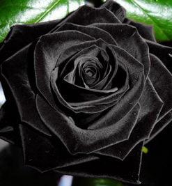 Black-Rose-Flower-Seed