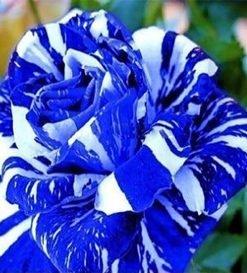 Blue-Dragon-Rose-Seed