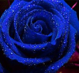 Blue-Rose-Flower-Seeds