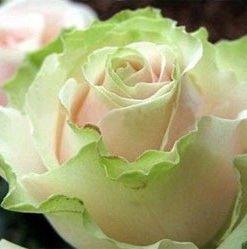 Dancing-Queen-Rose-Seed