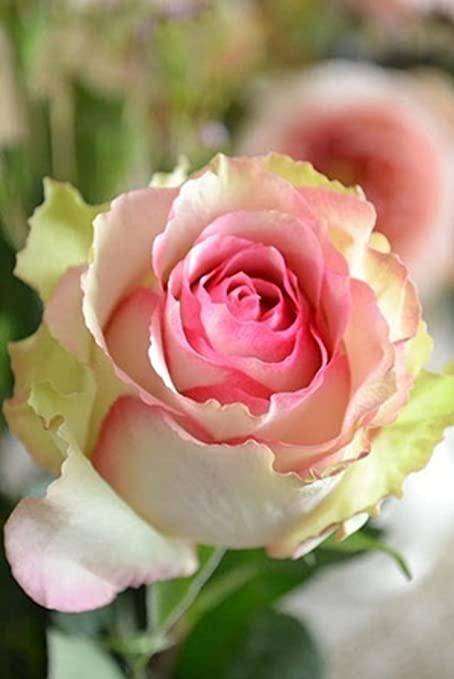 Dancing Queen Rose