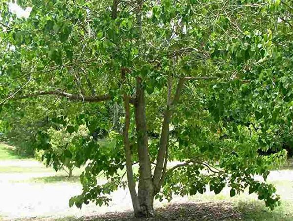 Gamhar Tree Seed