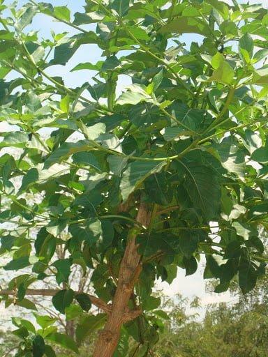 Manjanathi Leaves