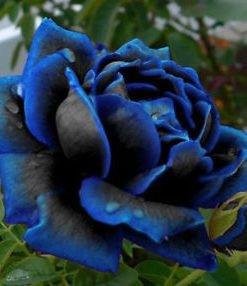 Blue Rose Seeds