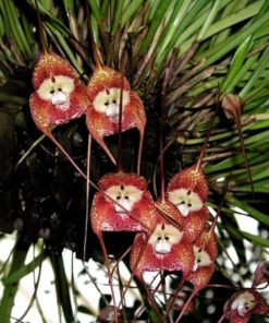 Monkey Face Orchid