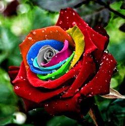 Mystic-Rainbow-Rose-Flower-Seeds