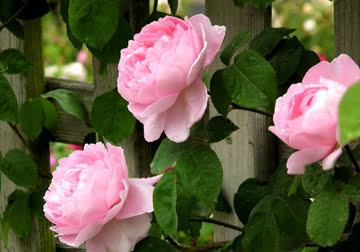 Pink-Rose-Seed