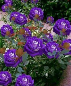 Purple White Rose Flower