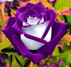 Purple-White-Rose-Seed