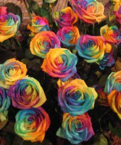 Rainbow Rose Flower