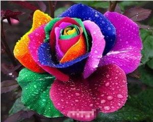 Rainbow-Rose-Seed