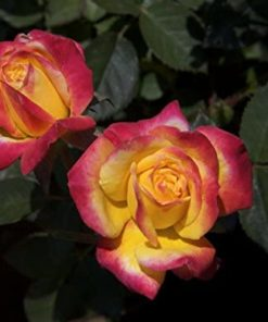 Red Rose Flower with Yellow