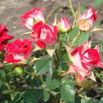 Ruby Rose Flower