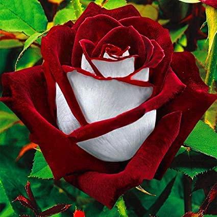 Ruby Rose Flower Seed