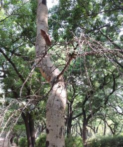 White Bark Acacia Tree