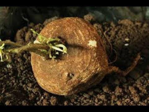 Dried Garuda Kizhangu