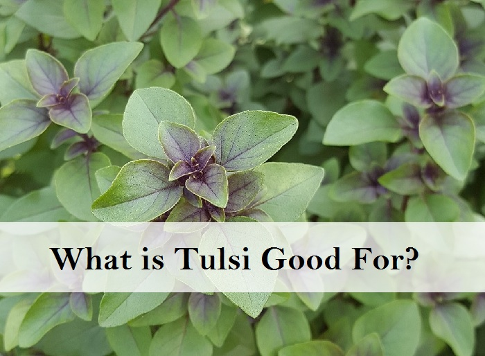 What is Tulsi Good For